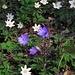 Il bosco è in fiore: Buschwindröschen, Anemone nemorosa und Leberblümchen, Hepatica nobilis