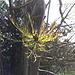 <b>Germogli di frassino (Fraxinus excelsior).</b>