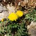Ein Löwenzahn (Taraxacum officinale) kämpft sich zwischen Steinen an die Sonne.
