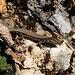 An den sonnigen Südflanke vom Gstüd traf ich zahlreiche Mauereidechsen (Podarcis muralis)  an.
