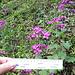<b>Lunaria annua.<br />I petali sono lunghi da 15 a 20 mm.</b>