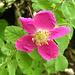 Alpen-Heckenrose (Rosa pendulina)