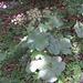 Jura-Bärenklau (Heracleum sphondylium ssp. alpinum) - seltene und endemische Art !