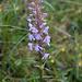 Am Wegrand der Langspornige Handwurz (Gymnadenia conopsea)