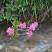 Bärgwasser mit Alpenrosen (Rhododendron ferrugineum)