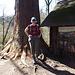 Tourinette am Mammutbaum - diese wurden hier 1864 ausgesäht und es sollen noch > 150 davon in den nahen Wäldern stehen - mit 156 Jahren sind die Bäume noch sehr jung und mit > 43 m in diesem Fall auch noch nicht ausgewachsen