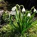Frühlings-Knotenblume (Leucojum vernum).