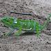 Eines der Chameleone die wir in der Natur entdeckten.