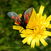 Groß und Klein teilen sich eine Pippau-Blüte