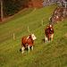 Endlich an der Sonne beim Weiler Hohlen (997m). Die Kühe scheinen es auch zu geniessen!