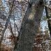 verwaschene Markierung an einem Baum...