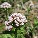 Unbekannte Blume. Könnte eine der eiszeitlichen Relikte sein, welche auf den Felsköpfen im Donautal wachsen