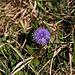 Nacktstängelige Kugelblume (Globularia nudicaulis).