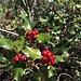 gediegen zeigt sich die Stechpalme mit den Früchten