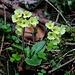 Einen Monat früher als im Umland von Basel blüht oberhalb Horbis die Hohe Schlüsselblume (Primula elatior).