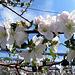 Apfelblüten wohin das Auge reicht