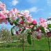 eine farbenfrohe Apfelblüte, wunderschön