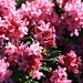 Chuck full of flowers, Rhododendron ferrugineum