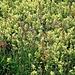rhinanthus ? bioggio 01 05 2020