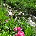 Der Strüssligrat ist gesäumt von Alpenrosen