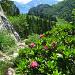 Noch mehr Alpenrosen am Strüssligrat