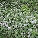 Der Bärlauch blüht