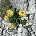 <b>Arnica montana</b>.<br />L'arnica montana è uno dei più validi rimedi omeopatici. È una pianta della famiglia delle Compositae, la stessa dei girasoli, ed è usata per ridurre le contusioni e le ferite derivanti da traumi fisici come le cadute e i colpi.<br />Nota ai nativi americani e alle popolazioni europee da secoli, l'Arnica è stata descritta per la prima volta nel XVI secolo dal naturalista Tabernae Montanus, che le diede l'attuale nome.