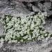 <b>Cerastium alpinum</b>.