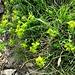 Euphorbia amygdaloides L.<br />Euphorbiaceae<br /><br />Euforbia delle faggete<br />Euphorbe des hétraies<br />Mandelblättrige Wolfsmilch