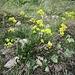 Biscutella laevigata L.<br />Brassicaceae<br /><br />Biscutella montanina<br />Lunetière lisse, Biscutelle<br />Glattes Brilleschötchen<br />