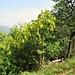 Laburnum anagyroides Medik..<br />Fabaceae<br /><br />Maggiociondolo comune<br />Aubour commun<br />Gemeiner Goldregen<br />