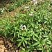Cardamine heptaphylla (Vill.) O.E.Schulz<br />Brassicaceae<br /><br />Dentaria pennata<br />Dentaire à sept folioles<br />Fiederblättrige Zahnwurz