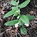 Melittis melissophyllum L.<br />Lamiaceae<br /><br />Erba limona comune<br />Mélitte à feuilles de mélisse<br />Immenblatt, Waldmelisse<br />