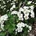Crataegeus monogyna Jacq.<br />Rosaceae<br /><br />Biancospino comune<br />Aubépine à un style, Epine blanche<br />Eingriffeliger Weissdorn<br />