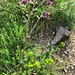 Aquilegia atrata W.D.J.Koch<br />Ranunculaceae<br /><br />Aquilegia scura<br />Ancoile noiratre<br />Dunkle Ankle