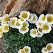 Blütenpracht auf 3600m!<br /><br />Gletscher-Hahnenfuss (Ranunculus glacialis)