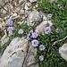 Globularia cordifolia L.<br />Plantaginaceae<br /><br />Vedovelle celesti<br />Globulaire à feuilles en coeur<br />Herzblättrige Kugelblume