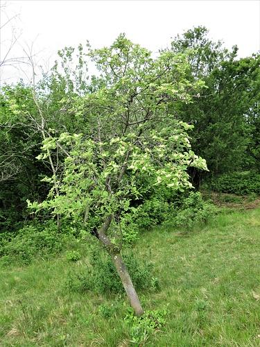 Sorbus aria (L.) Crantz<br />Rosaceae<br /><br />Sorbo montano, Farinello, Chiavardello<br />Alisier blanc, Alouchier, Allier<br />Echter Mehlbeerbaum