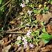 Saponaria ocymoides L.<br />Caryophillaceae<br /><br />Saponaria rossa<br />Saponaire rose<br />Rotes Seifenkraut