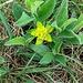 Euphorbia verrucosa L.<br />Euphorbiaceae<br /><br />Euforbia verrucosa<br />Euphorbie verruqueuse<br />Warziche Wolfsmilch