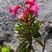 Steinröseli, bewimperte Alpenrose (Rhododendron hirsutum)