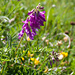 Alpen-Süssklee (Hedysarum hedysaroides)