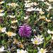 Silberwurz und quirlblättriges Läusekraut (Dryas octopetala, Pedicularis verticillata)