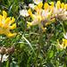 Alpen-Wundklee (Anthyllis vulneraria alpestris)