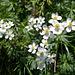 Narzissenblütige Anemone (Anemone narzissiflora)