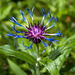Berg-Flockenblume (Centaurea montana)