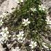 vermutlich eine alpine Mierenart (Minuartia)