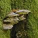 Baumpilze laben sich an totem Holz.
