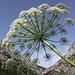 QS. è una pianta velenosa; Cicuta.