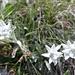 in quest'immenso mare di fiori anche le regine della montagna non potevan mancare.